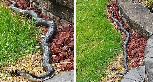 Giant Snake Spotted Slithering Around Vineland Neighborhood